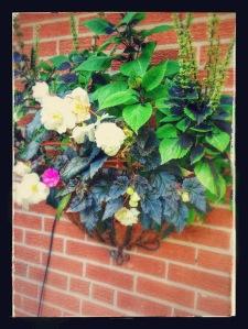 coleus and white begonia planter